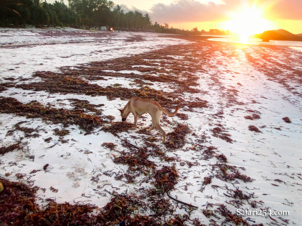 Watamu beach_dog strolling on seaweed